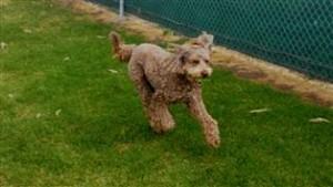 a dog behaviorist dream dog