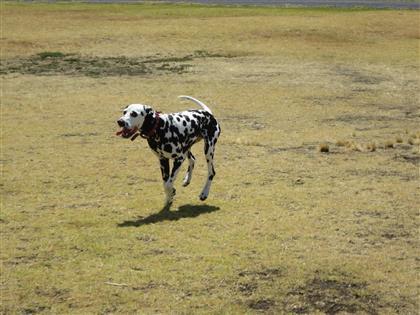 dalmation-dog