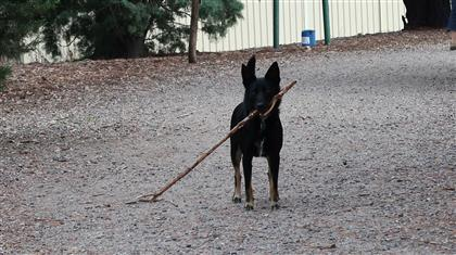dog with stick too