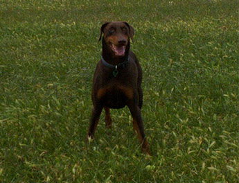 doberman dog a very independent dog