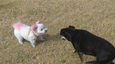 territorial dog guarding