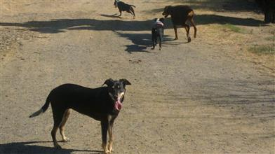 dog chasing objects kelpie