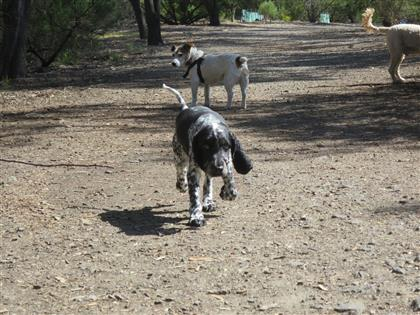 cocker-spaniel-dog