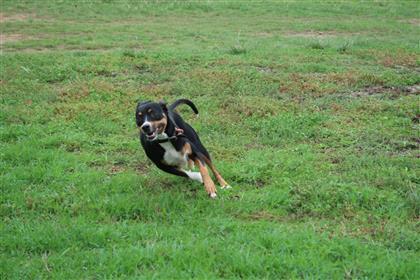 kelpie dog on the run