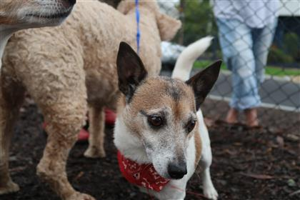 lovely jack russell dog